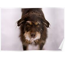 Snowy Terrier Poster