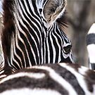 I am unique - Burchell's zebra (Equus burchelli) by Sandy Beaton