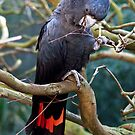 Red Tailed Black Cockatoo. by John Sharp