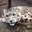 Snow Leopard by John Sharp
