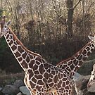 The Amazing Giraffe with 2 Heads!! by MichelleRees