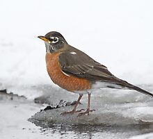 American Robin at the watering hole by Daniel Cadieux