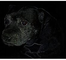 Staffordshire Bull Terrier, Portrait Photographic Print