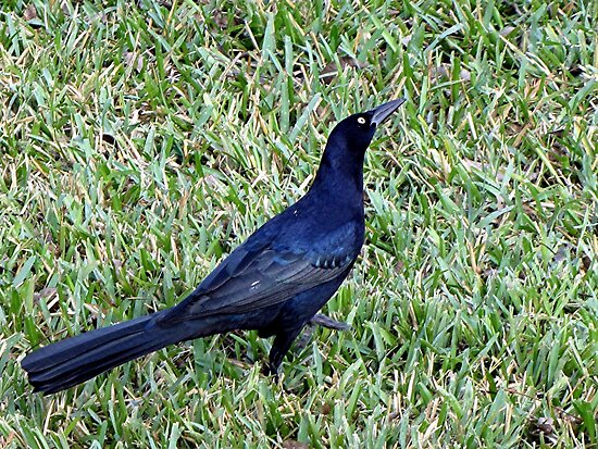Grackle by Loree McComb