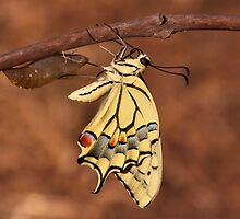 butterfly emerging from its cocoon  by PhotoStock-Isra