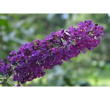 Butterfly bush Photographic Print