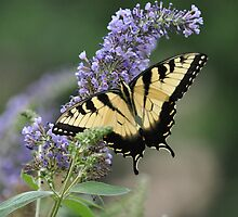 The Monarch on Butterfly Bush by sabiar69