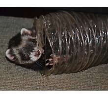 Playful Ferret Photographic Print