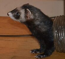 Ferret Playing in Tube by betsy8897