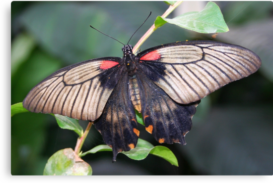 Great Mormon - Papilio memnon (Female) by Lepidoptera