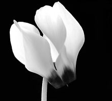 Cyclamen Flower by Neil Clarke