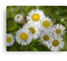 Tiny daisies Canvas Print