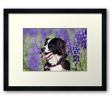 dog in a field of Blue lupin (Lupinus pilosus) flowers  Framed Print