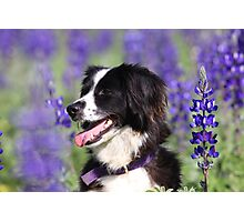 dog in a field of Blue lupin (Lupinus pilosus) flowers  Photographic Print
