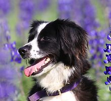 dog in a field of Blue lupin (Lupinus pilosus) flowers  by PhotoStock-Isra