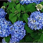 Hydrangea m 'Endless Summer' by lindabeth