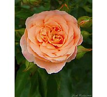 Peach Colored Rose Photographic Print