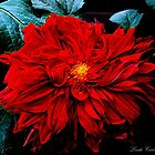 Red Dahlia by lindabeth