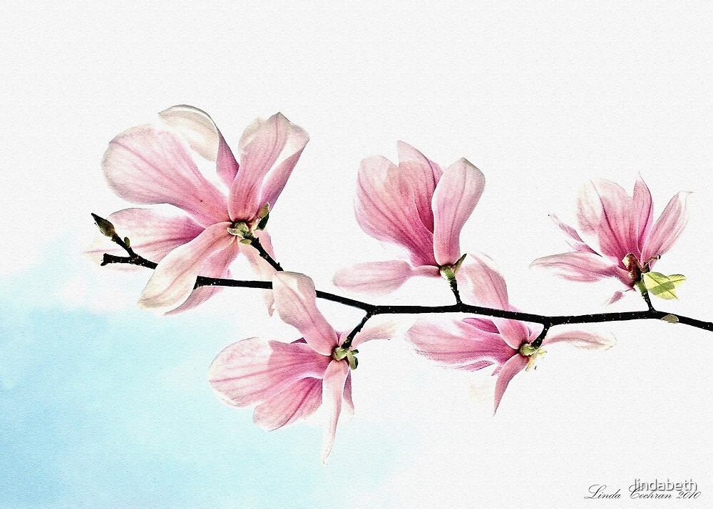 Saucer Magnolia  by lindabeth