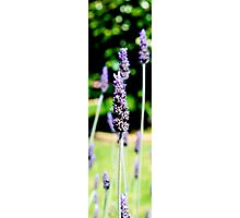 Lavender - Spring in Melbourne Photographic Print