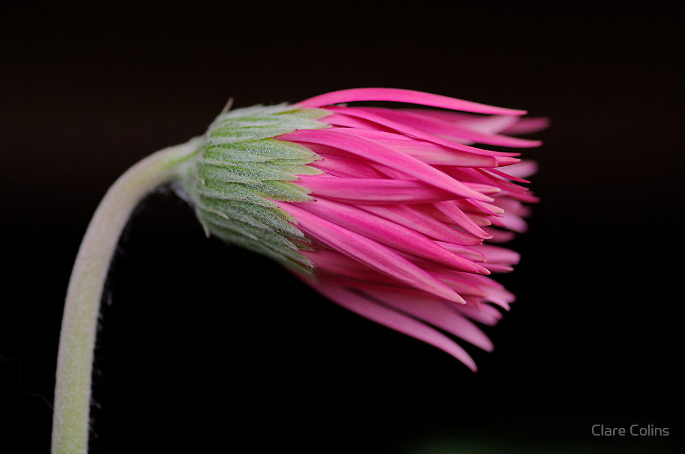 a brand new gerbera by Clare Colins
