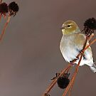 Goldfinch on Black Eyed Susan Seedheads by Bill McMullen