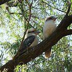 Kookaburra sits in the old gum tree by peterthompson