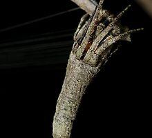 Orb weaver - Heurodes sp. by Andrew Trevor-Jones