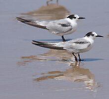 Crested Terns by Tim Harper