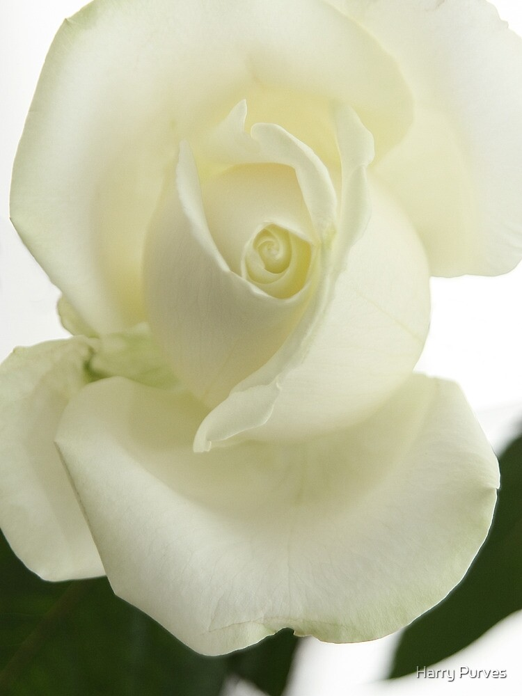 White Rose in Portrait by Harry Purves