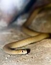 Yellow Faced Whip Snake by Melissa Dickson