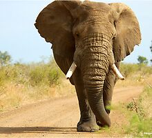 I'M RIGHT BEHIND YOU! - THE AFRICAN ELEPHANT – Loxodonta Africana by Magaret Meintjes