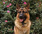 Chance--German Shepherd by Sandy Keeton