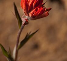 Indian Paint Brush by John  Sperry