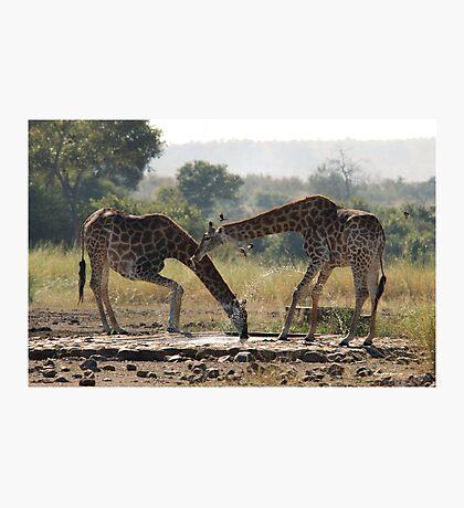 A LONG WAY TO GO FOR A THIRSTY GIRAFFE  ! - GIRAFFE – Giraffa camelopardalis Photographic Print