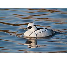 A lonely Smew Photographic Print