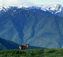 Deer in Olympic National Park, Washington by Jeff Hathaway