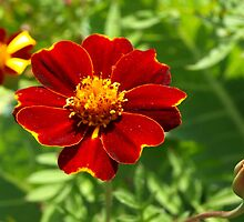 Red marigold by ♥⊱ B. Randi Bailey