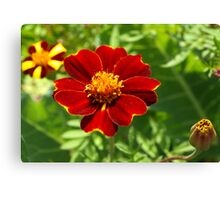 Red marigold Canvas Print