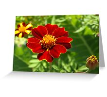 Red marigold Greeting Card