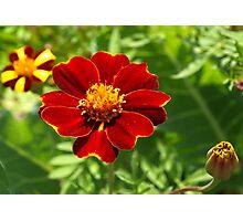 Red marigold Photographic Print