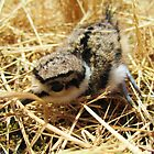 Baby Killdeer by annabe11e5