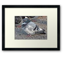 White and Black Pigeon with Grey Area 3696 Framed Print
