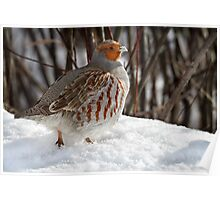 Not A Pear Tree In Sight / Gray Partridge Poster