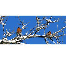 American Robins Photographic Print
