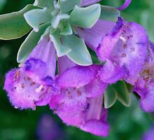 Fuzzy purple sage by ♥⊱ B. Randi Bailey