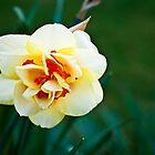 Daffodil #29 by BH Neely