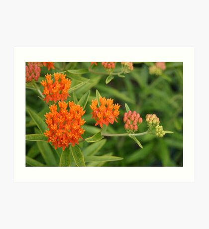 Butterfly Weed From Bud to Flower Art Print