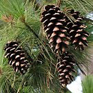 Four Pine Cones by BlueMoonRose