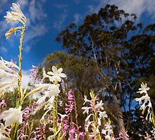 The Watsonia Flowers by Darren Speedie
